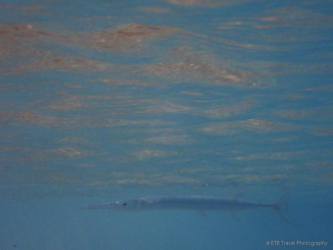 needlefish at Little Bay