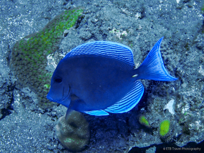 Blue Tang in Saba