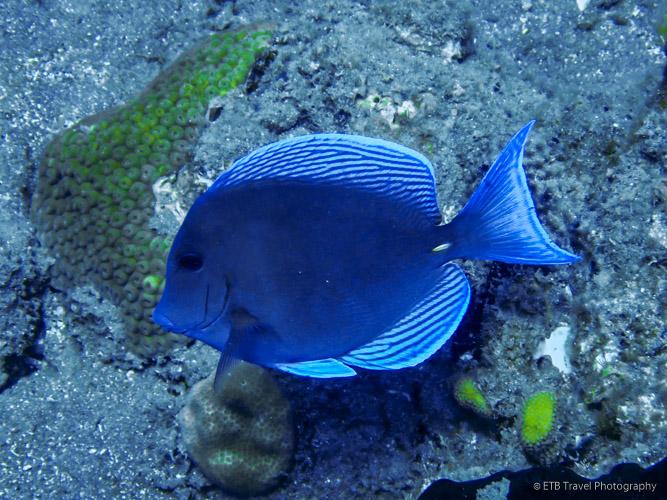 Blue Tang in Saba