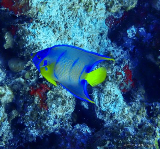 Queen Angelfish in Saba