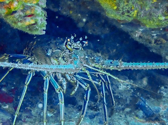 lobster in saba