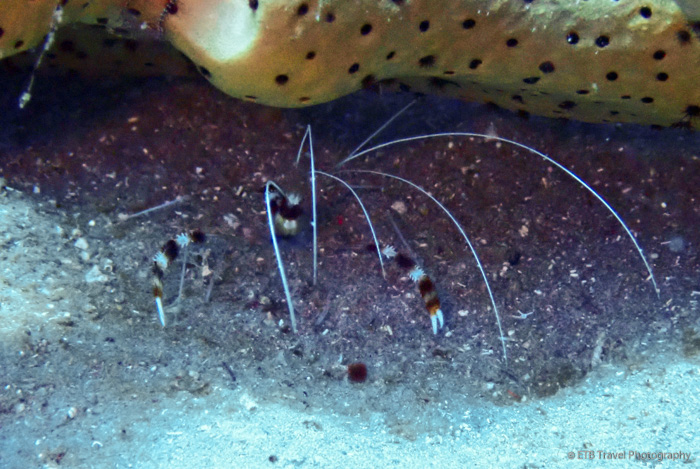coral banded reef shrimp in Saba