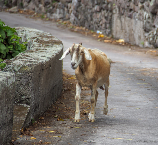 goat trotting down road in Saba