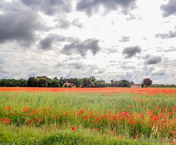 poppy field near Sarlat