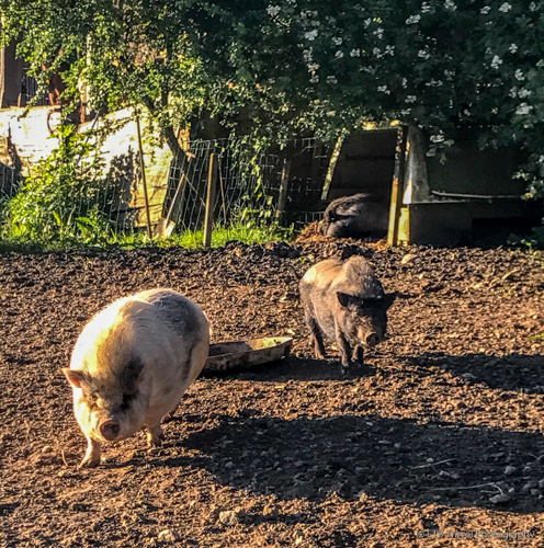 Gertrude, wee and Delilah on the farm in correze