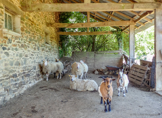 goats and sheep in correze