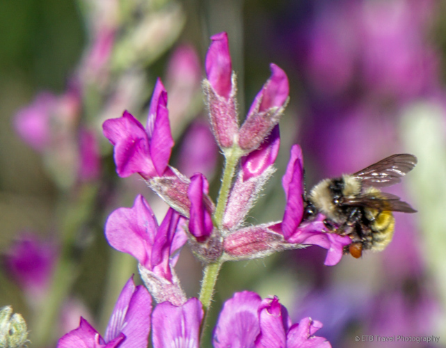 bee on pink wildflower