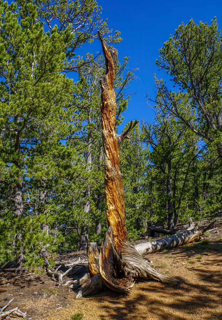 burnt tree on the way to Bison Peak