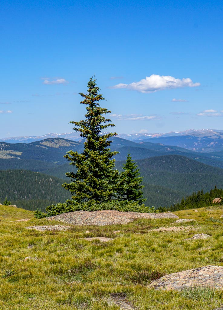 lonely tree on the saddle to Bison Peak