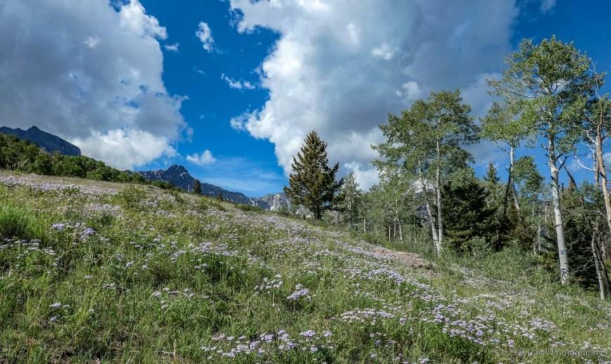 field of aspen daisy