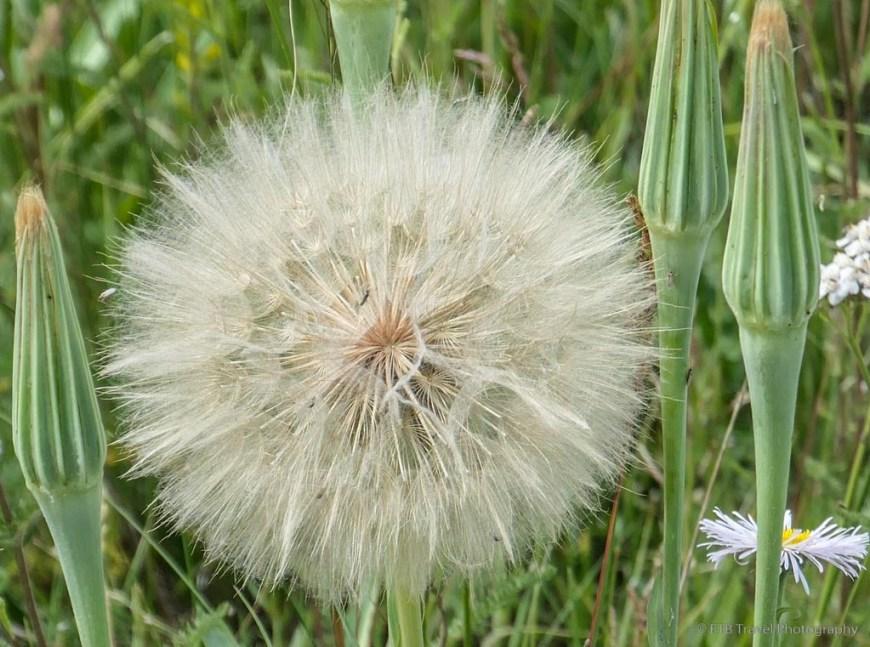 Dandelion puff ball