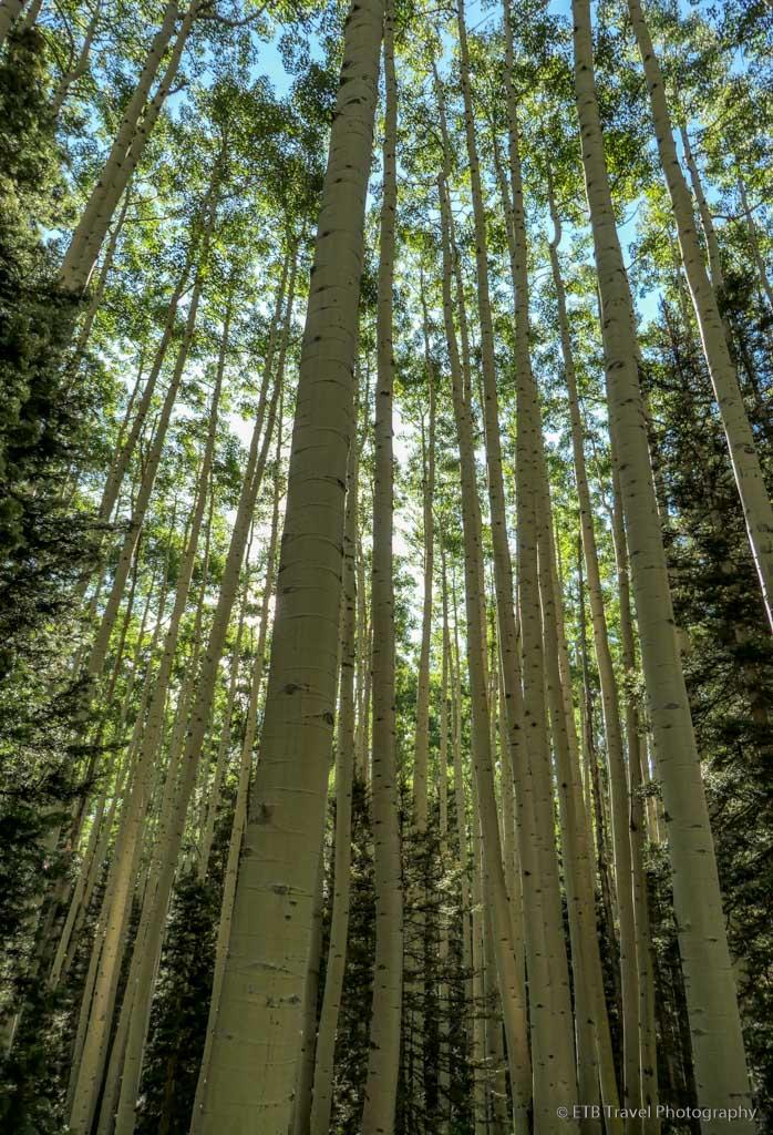 aspen trees on the Sneffels Traverse