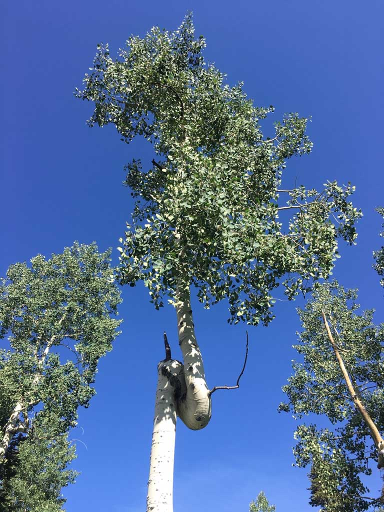 funky aspen tree trunk