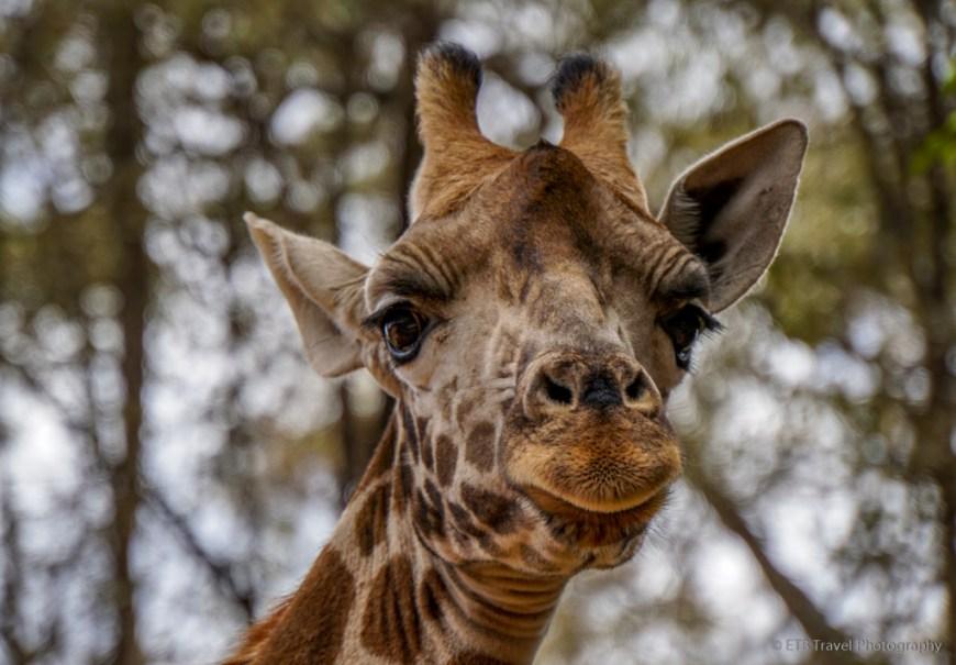 giraffe in Nairobi
