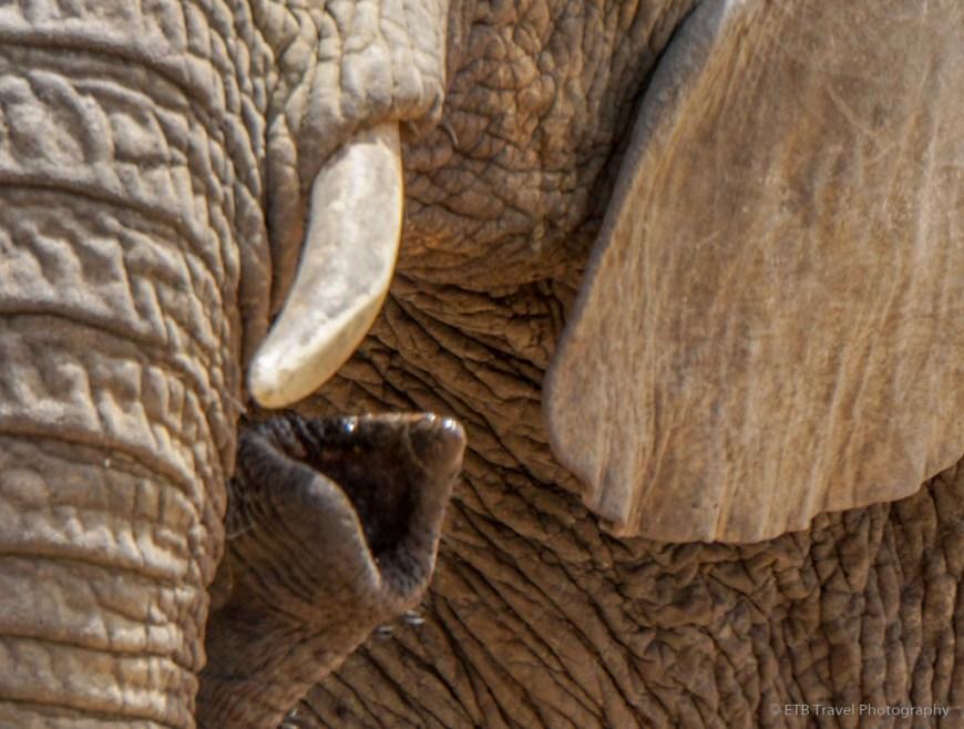 cclose up of elephant trunk an tusk