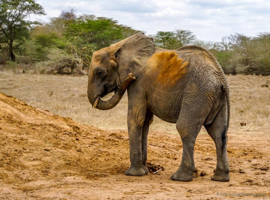 orphan elephant taking sand bath at Umani Springs
