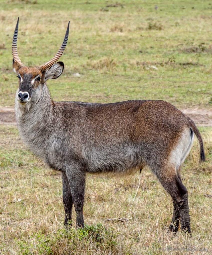 bush buck in the Masai Mara