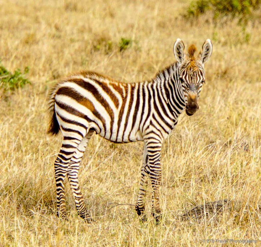 baby zebra in the Masai Mara