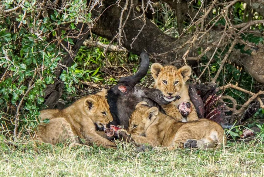 three cubs eating wildebeest in the Masai Mara