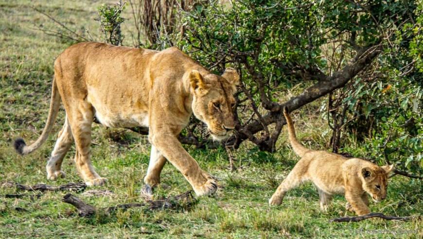 mama and cub walking in the Masai Mara