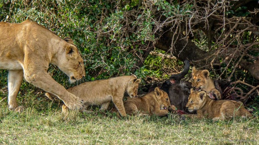 four cubs eating wildebeest in the Masai Mara