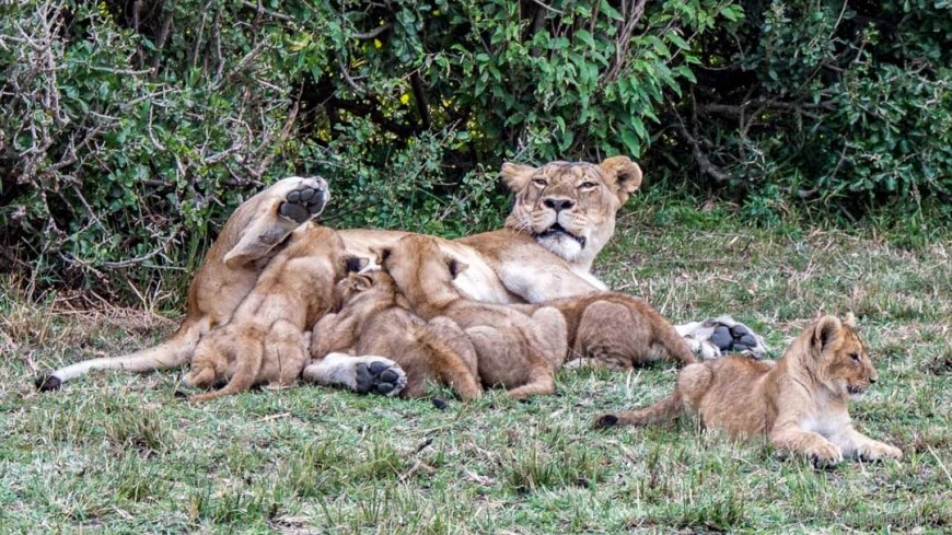 four cubs nursing in the Masai Mara