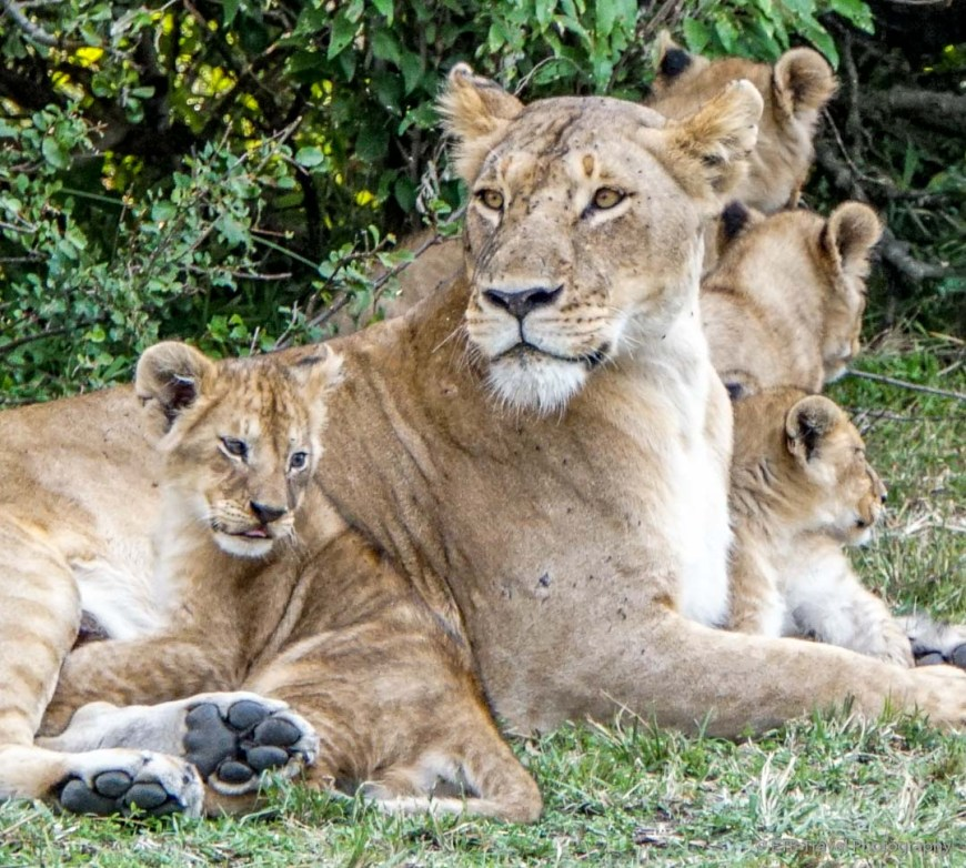 four cubs resting with their mama in the Masai Mara