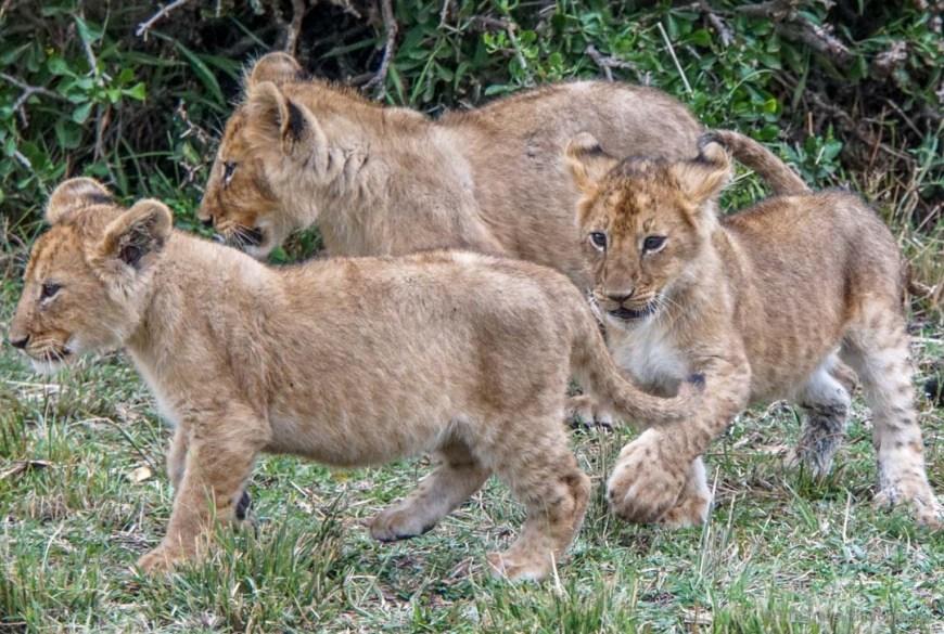 three cubs in the Masai Mara