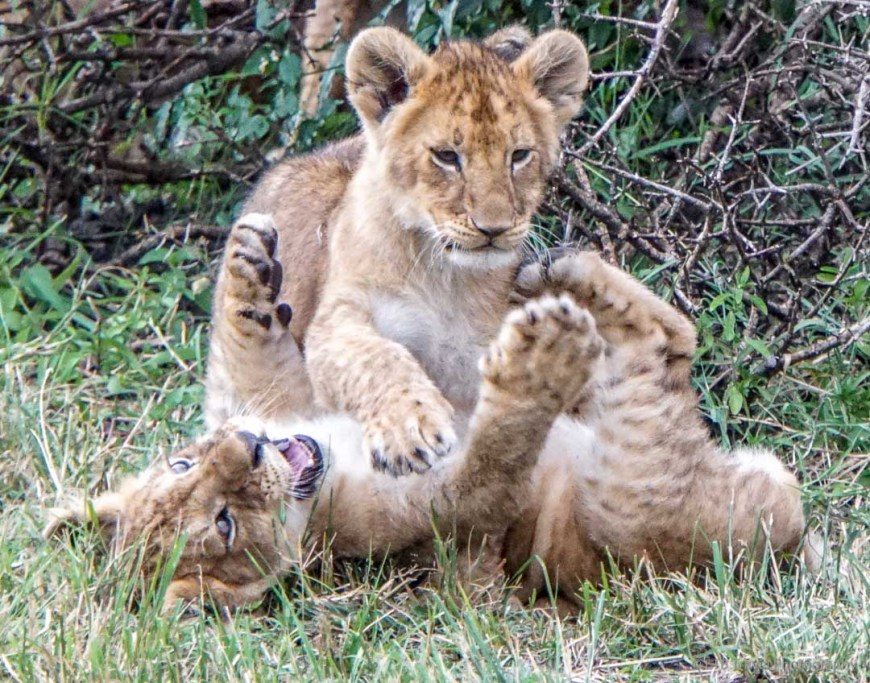 two cubs playing in the Masai Mara
