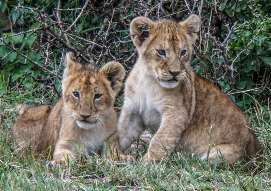 two cubs in the Masai Mara