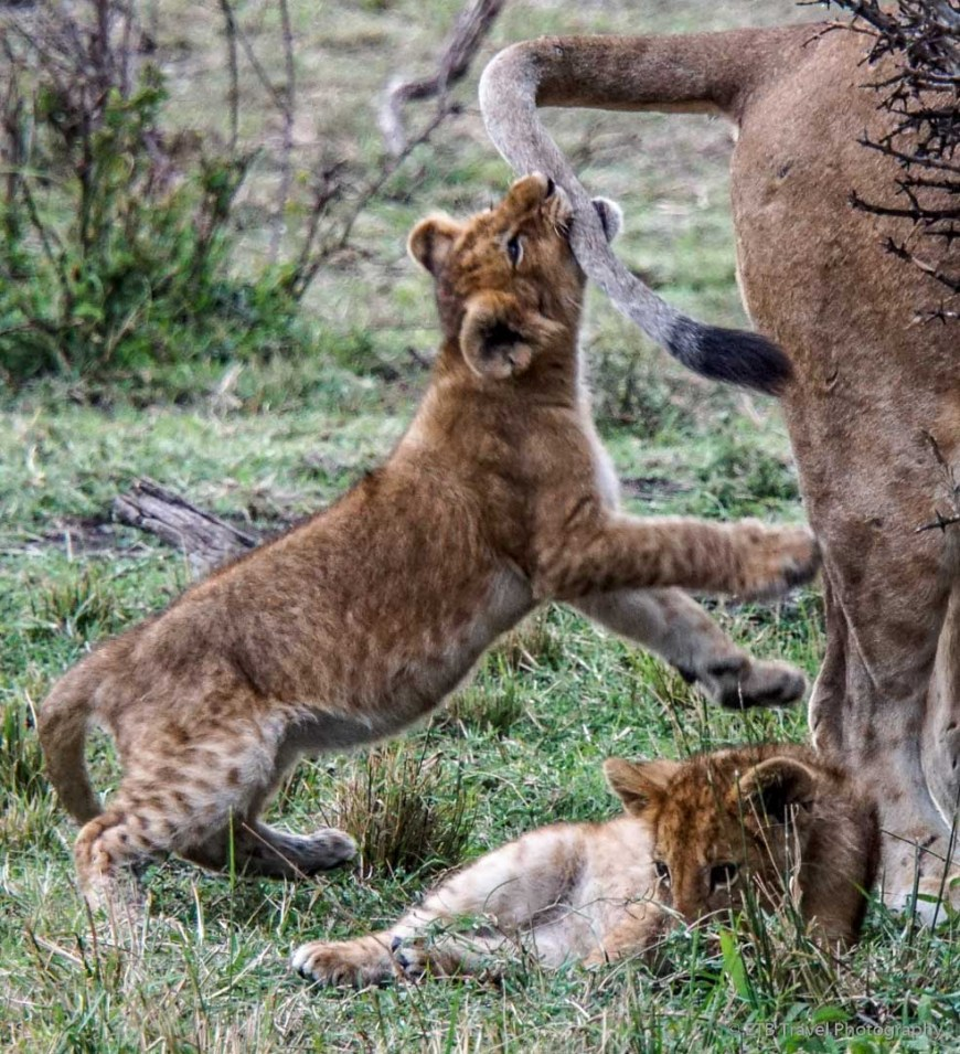 cub playing with mama's tail in the Masai Mara