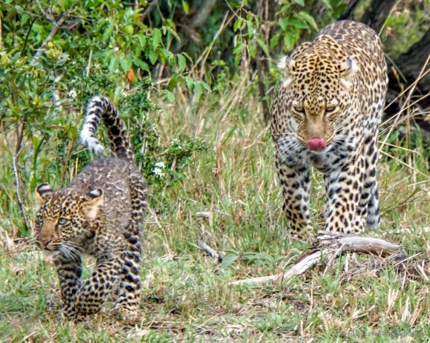 mama and baby leopard in the Masai Mara