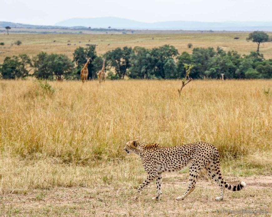 cheetah with giraffe in background