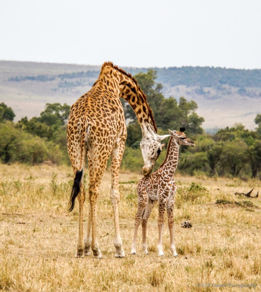 mama and baby giraffe