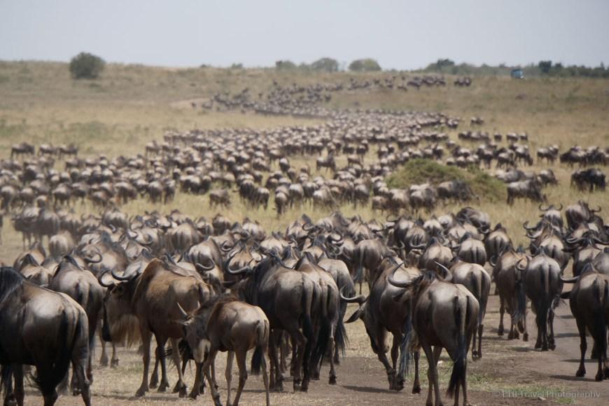herd of 8,000 wildebeest