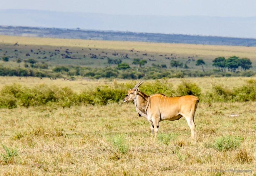 eland in the Masai Mara