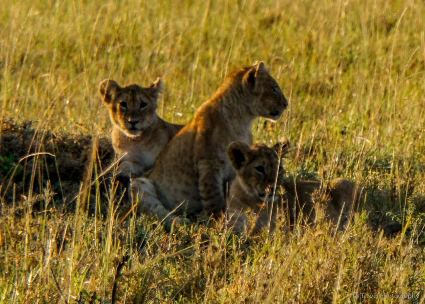 lion cubs in the Masai Mara