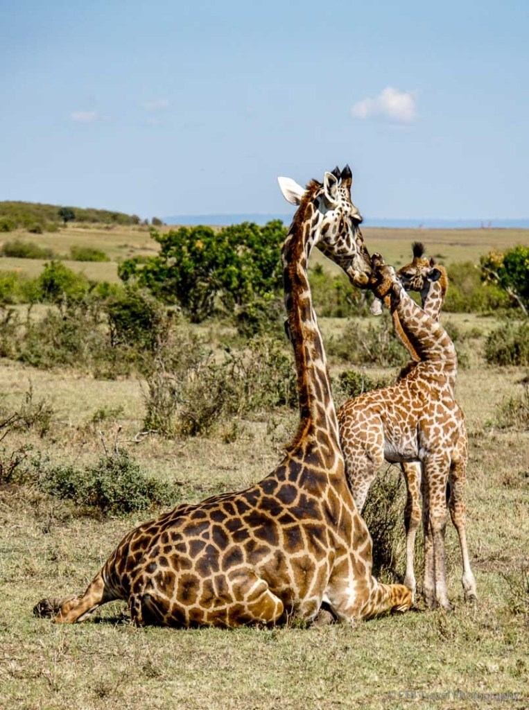 rare twin giraffes with mama