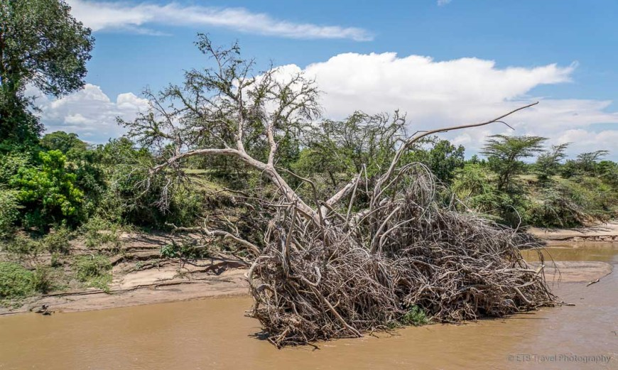 fallen fig tree in Talek River