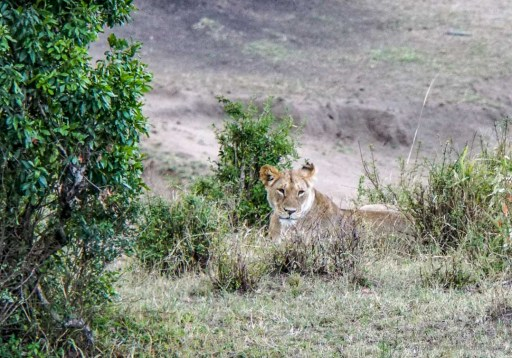 lioness in the Masai Mara