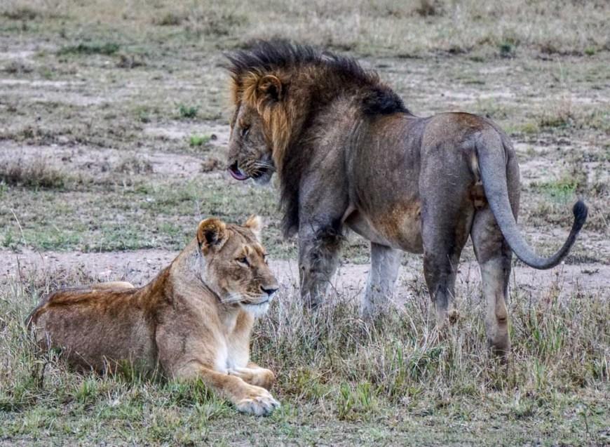 lion honeymoon couple