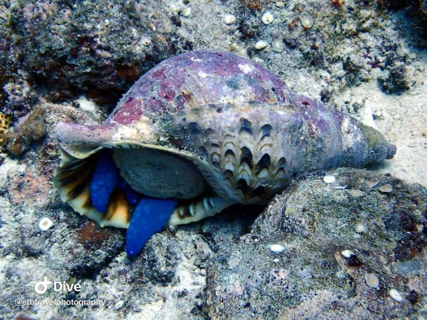 triton sea snail eating a seastar