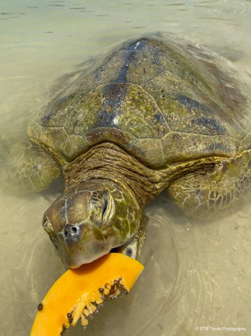 Captive turtle