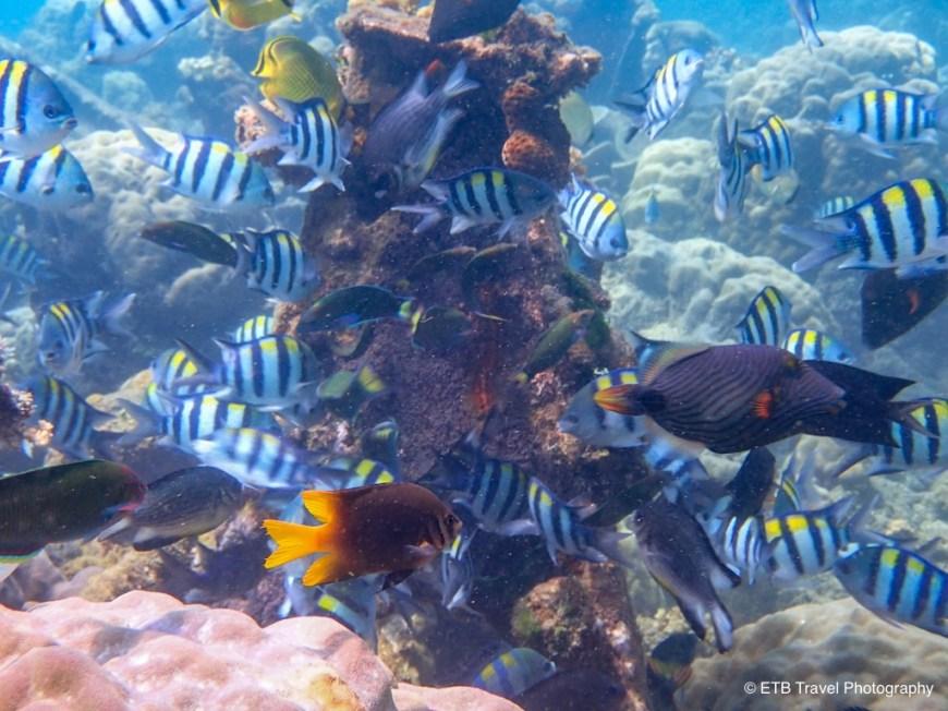 fish eating eggs at bonegi I in guadalcanal