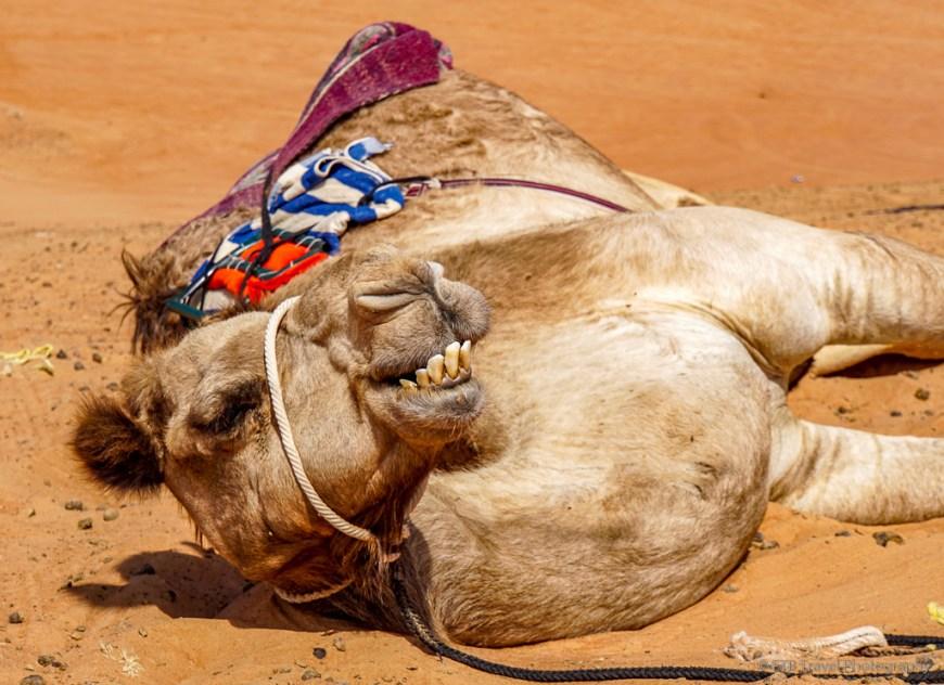 camel in Sharqiya Sands