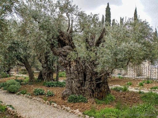 old olive trees at the Church of All Nations in Jerusalem