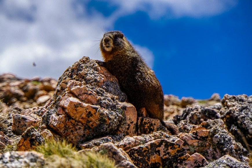 marmot on South Park Trail