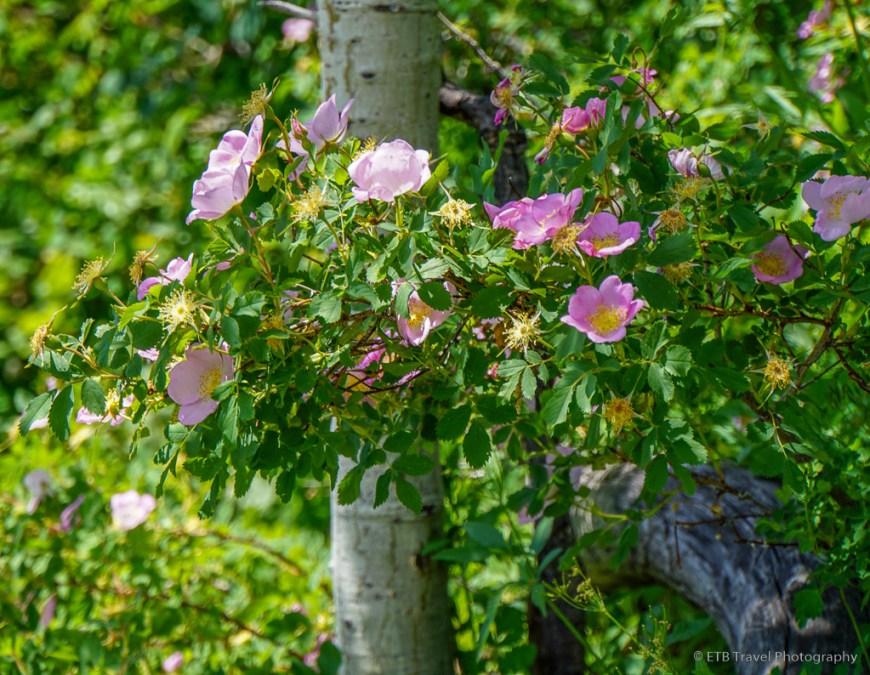wild rose on thunderhead trail