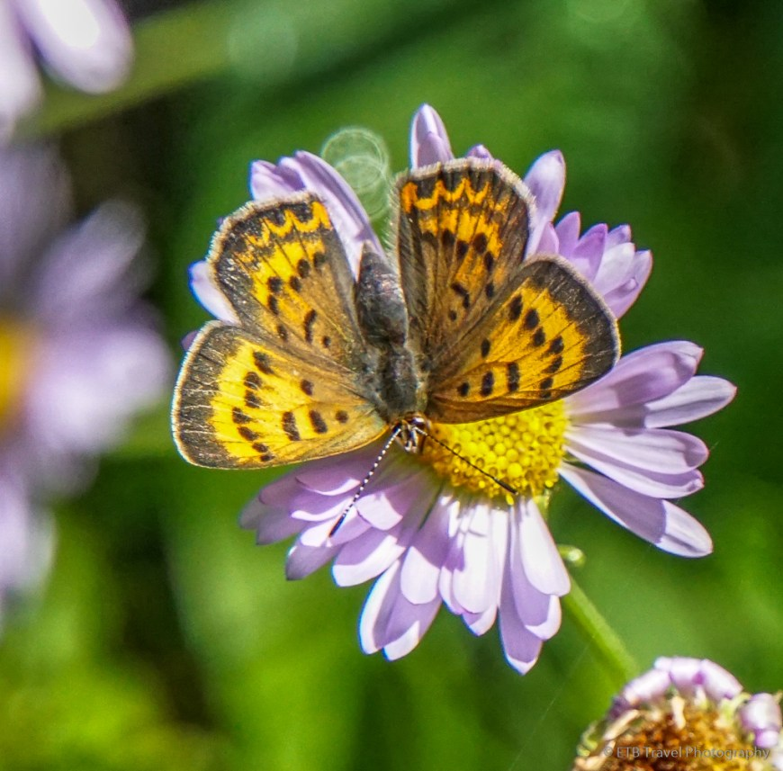 butterly on aster