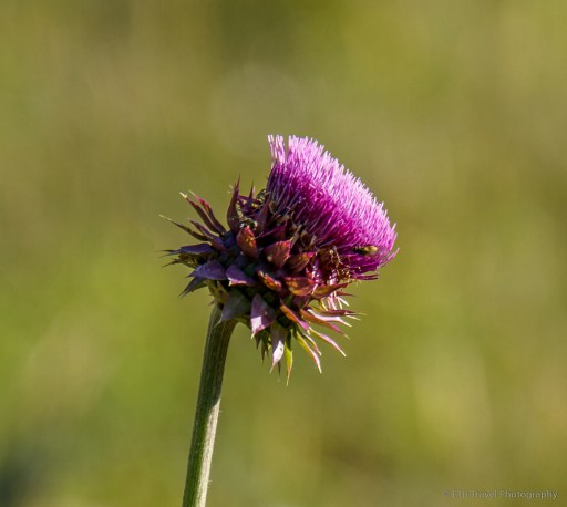 thistle on cow creek trail